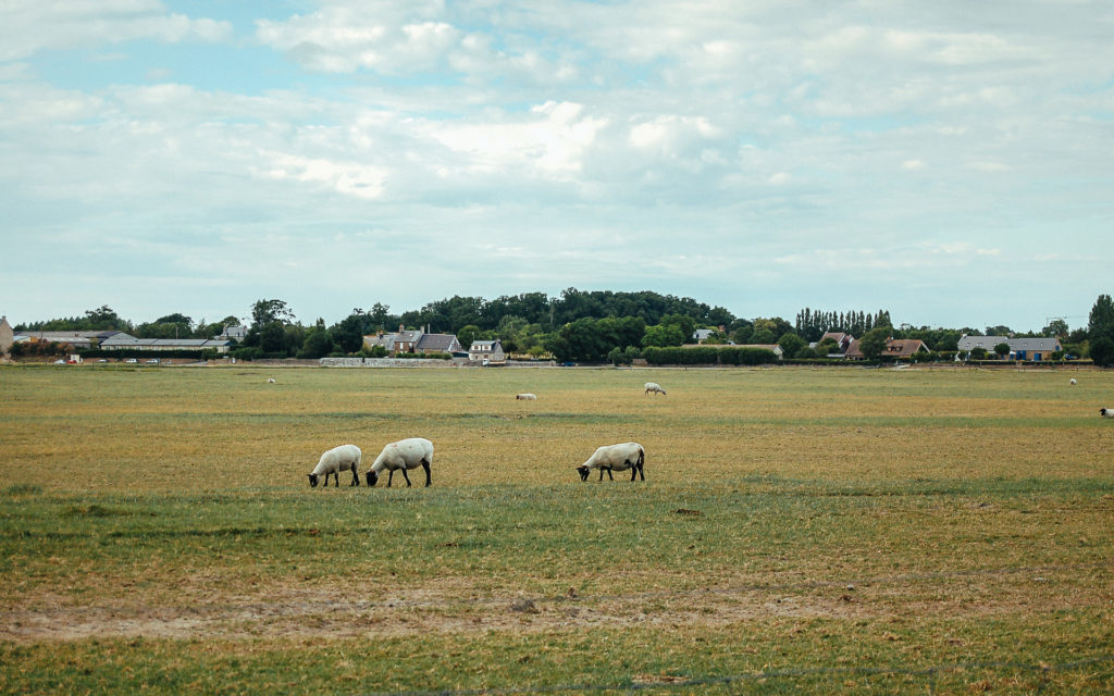 Moutons des Prés salés, Normandie