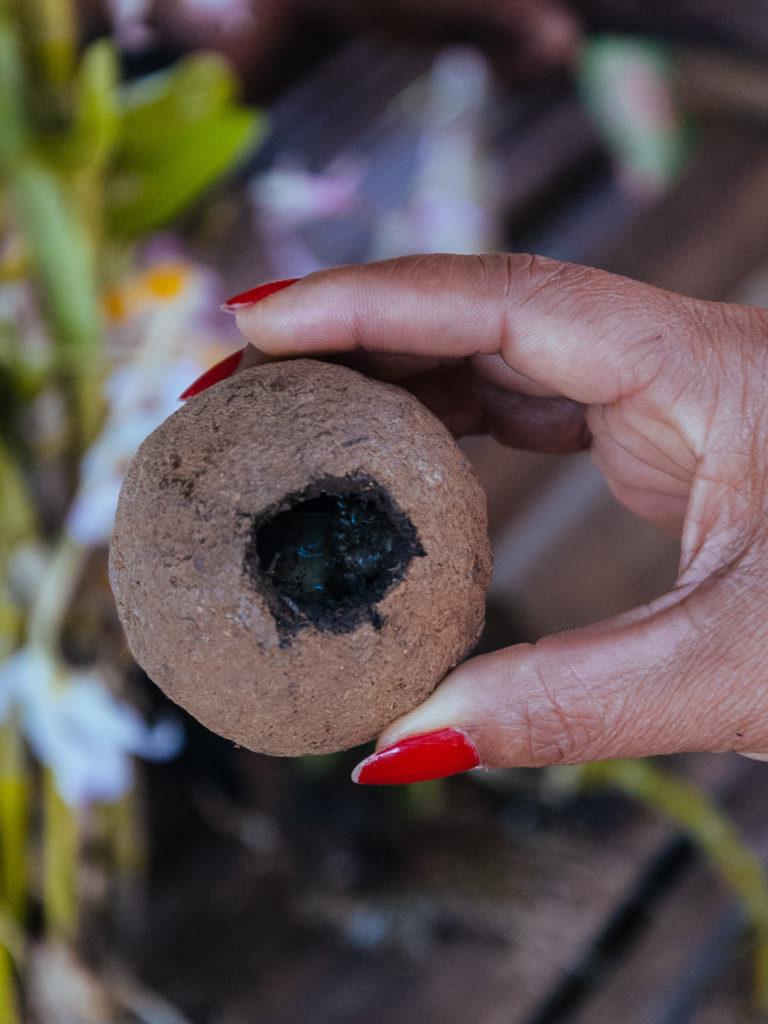 Larve de bousier dans son cocon, Thailande