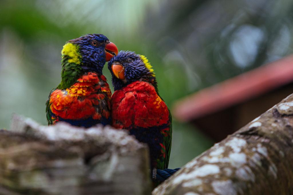 Couple d'Inséparables, Guadeloupe