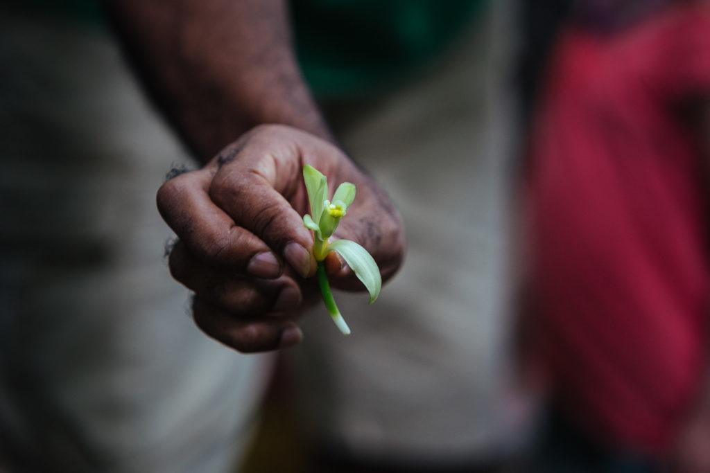 Fleur de vanille, Domaine Vanibel, Guadeloupe