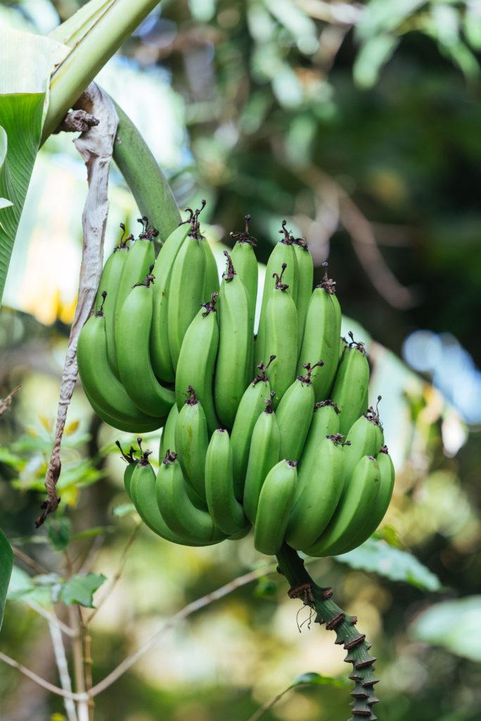 Régime de bananes, Domaine Vanibel, Guadeloupe