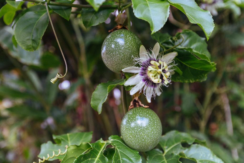 Fruits de la passion, Domaine Vanibel, Guadeloupe