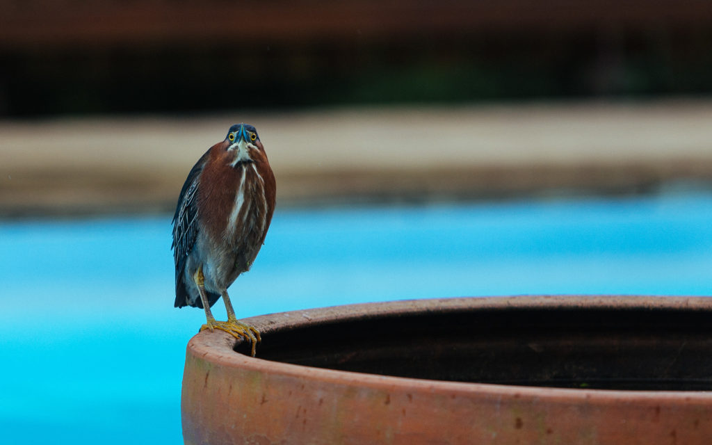 Bird by the pool, Les bananes vertes, Guadeloupe
