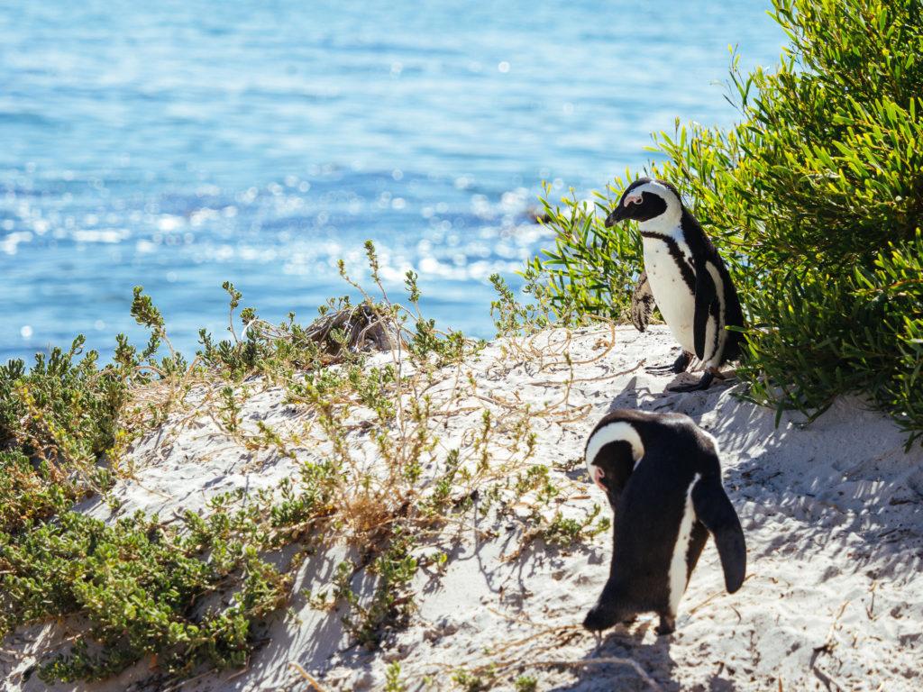 Pingouins, Boulders Beach, Afrique du Sud