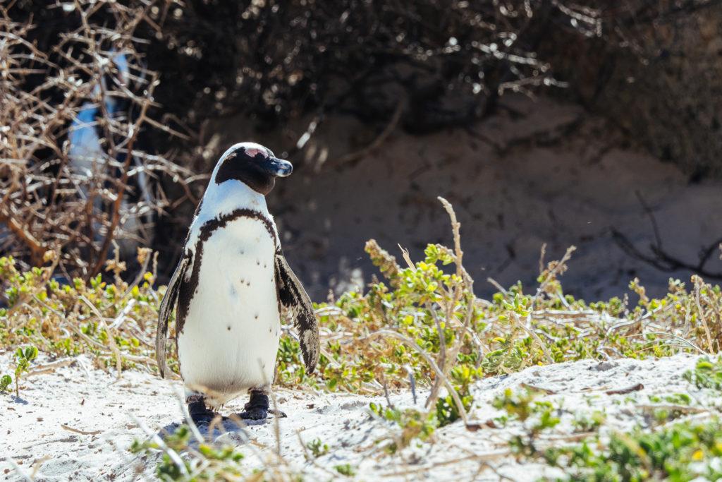 Pingouin au soleil, Boulders Beach, Afrique du Sud
