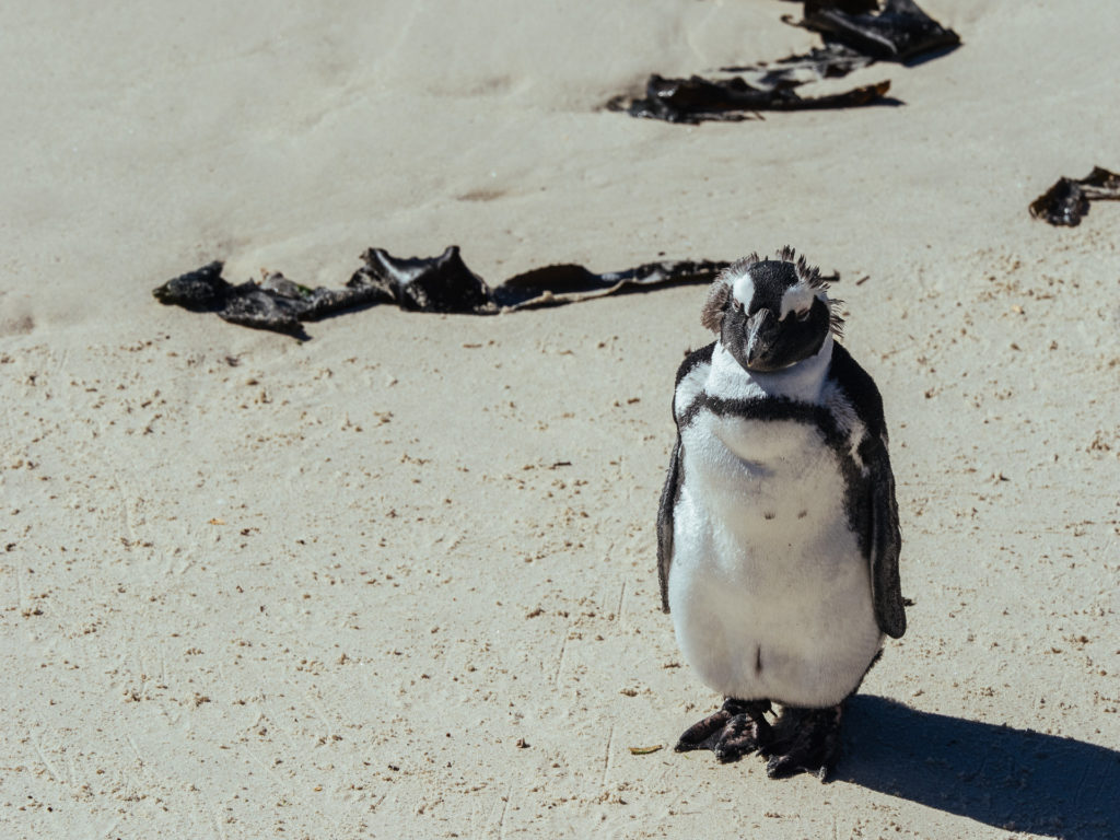 Pingouin statue, Boulders Beach, Afrique du Sud