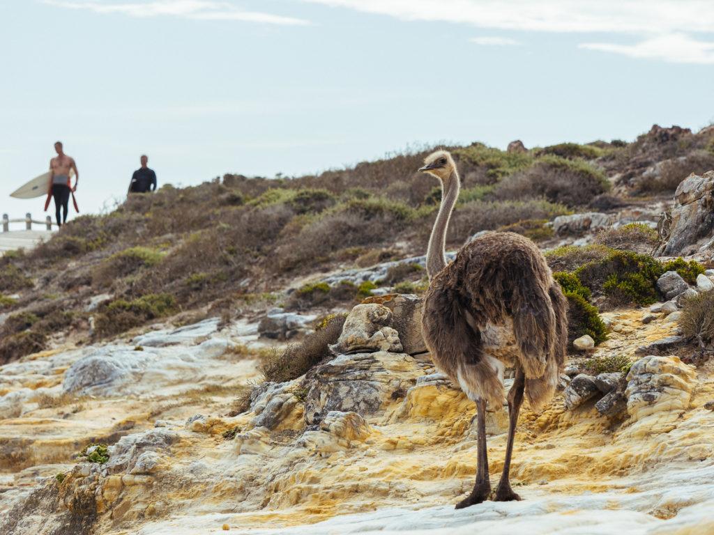 Autruche et surfeurs, Cap de Bonne Espérance, Afrique du Sud