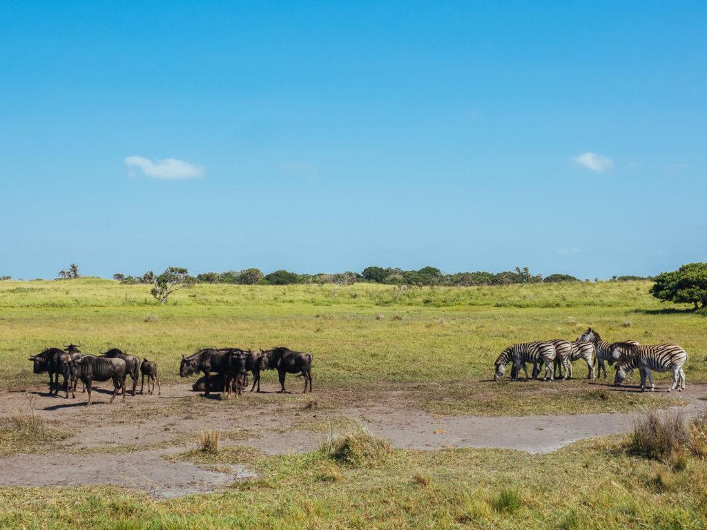 Zèbres et Wildebeest, Afrique du Sud