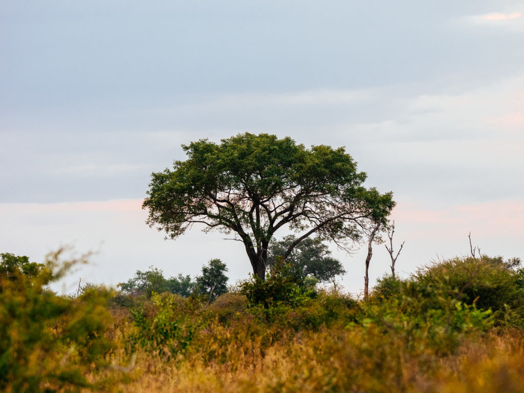 Marula tree, Umkumbe Safari Lodge, South Africa