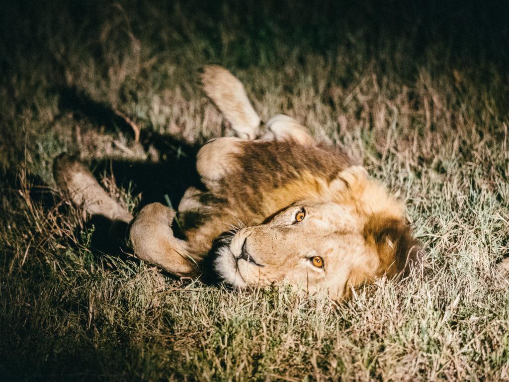 Lion se comportant comme un gros chat, Umkumbe Safari Lodge, Afr