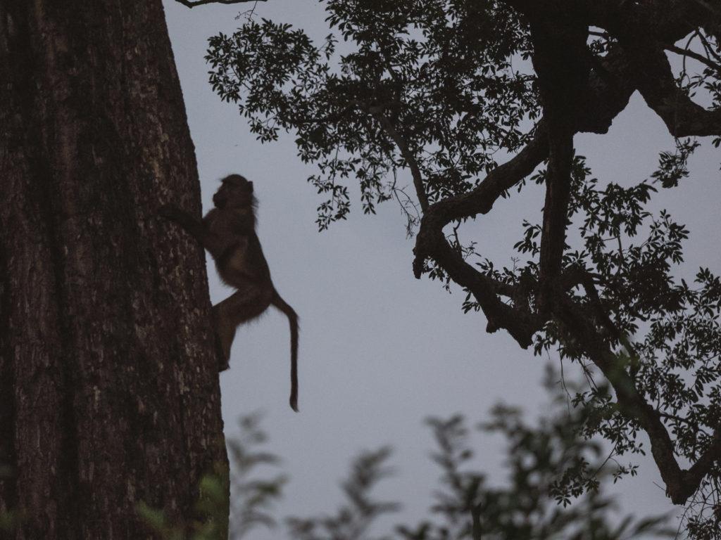 Babouin à l'aube, Umkumbe Safari Lodge, Afrique du Sud