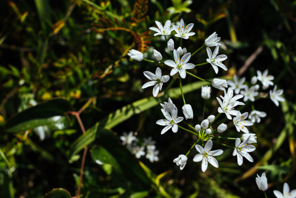 Fleurs du maquis, Ajaccio