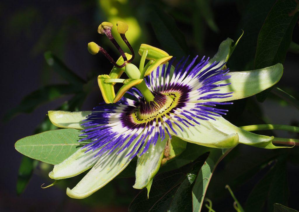 Passiflora_caerulea_-_Ljubljana_Botanical_Garden_Slovenia_-_Petar_Milosevic