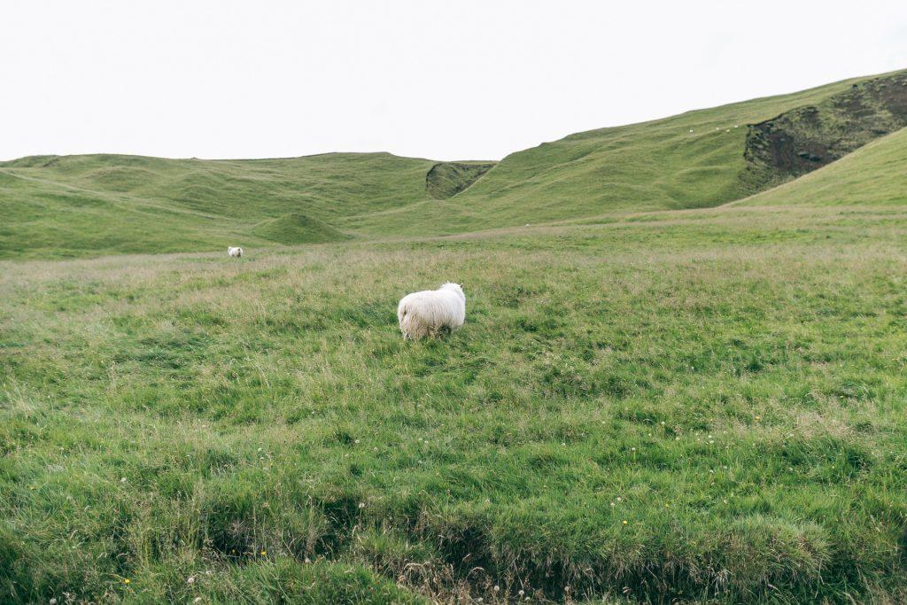 Sheeps in the Icelandic landscape
