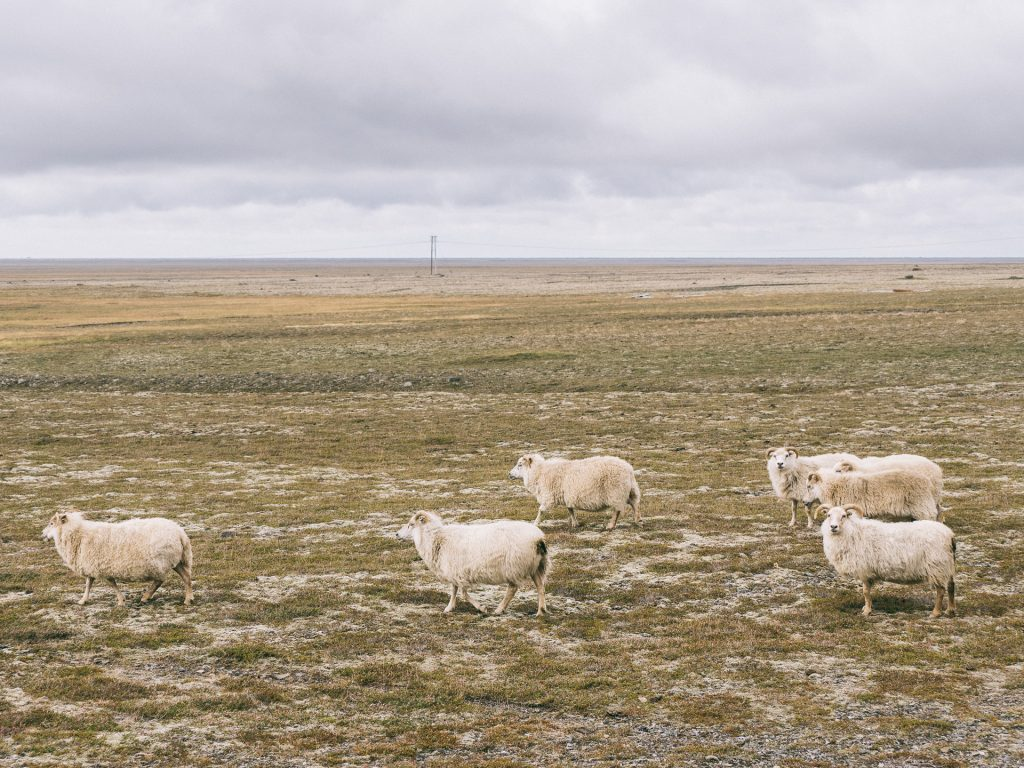 More sheeps in the Icelandic landscape