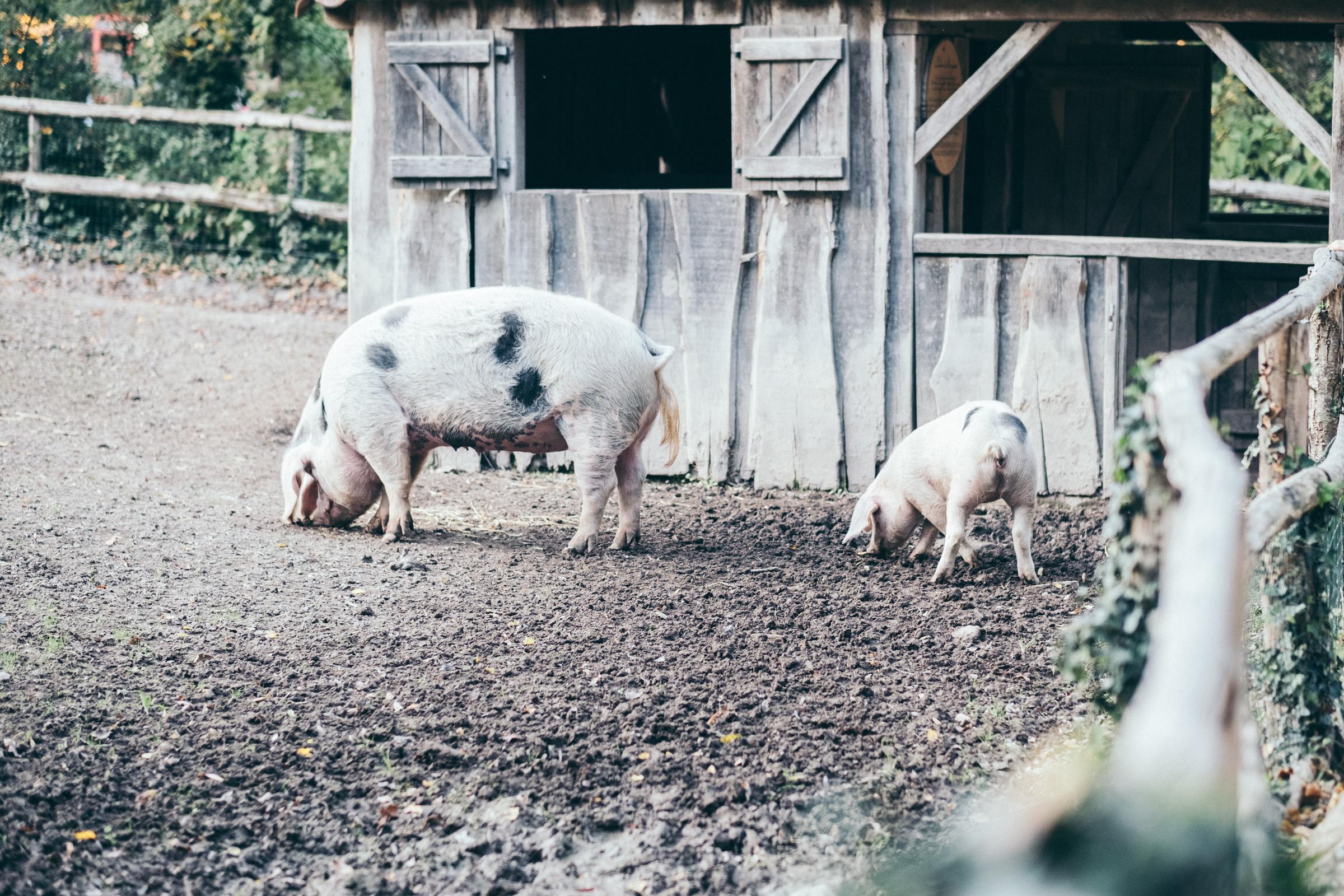 Puy du Fou - France - Cochons et porcelet